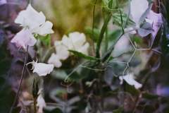 Mesesan-these-sweet-peas-belong-to-another-time.-maybe-the-victorian-age